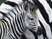 desert_zebra